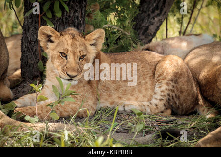 Portrait of African lions (Panthera leo) resting in the bush, cub with spots lying against tree - Stock Photo