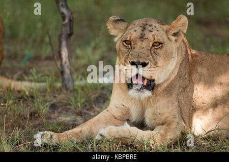 Portrait of African lions (Panthera leo) resting in the bush - Stock Photo