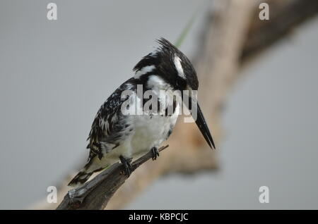 Pied Kingfisher (Ceryle rudis) perched on a branch in Pilanesberg - South Africa - Stock Photo