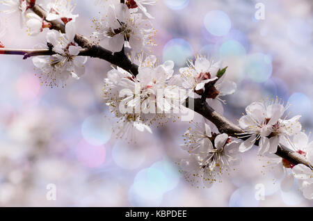 Vintage photo of Apricot tree flower with beautiful bokeh background. Spring themed backdrop for your design - Stock Photo