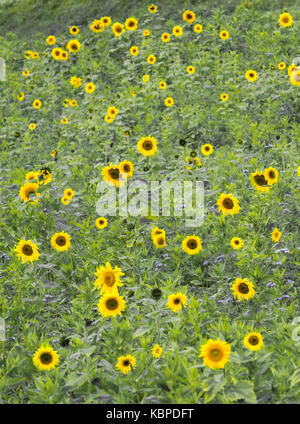 Large field with many sunflowers - Stock Photo