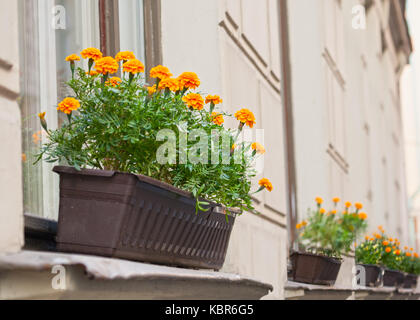 Bright flowers grow in a box on the windowsill - Stock Photo