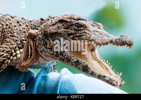 Cuban crocodile (crocodylus rhombifer) critically endangered reptile endemic to Cuba - Stock Photo