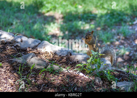 Squirrel Standing on Rock Eating - Stock Photo