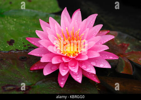 Closeup freshness pink lotus (Nymphaea lotus / water lilies) in full bloom - Stock Photo