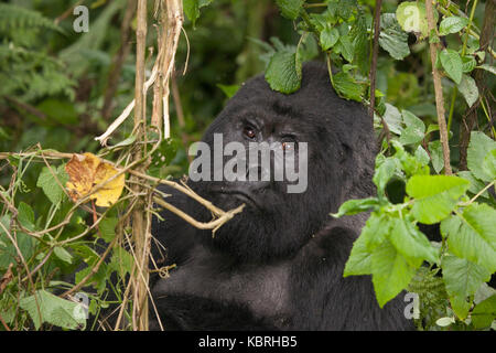 Mountain Gorilla in the jungle of Rwanda. Volcanoes National Park. - Stock Photo