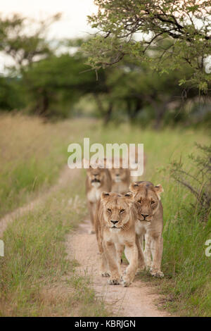 pride of lions walking on dirt road in a row - Stock Photo