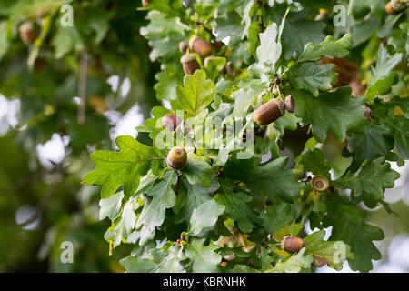 Oak leaves and acorns pedunculate oak or Quercus robur in late summer now dropping acorns to the ground. Some leaves - Stock Photo