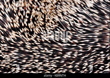 European Hedgehog, quills, North Rhine-Westphalia, Germany / (Erinaceus europaeus) | Europaeischer Igel, Stacheln, - Stock Photo
