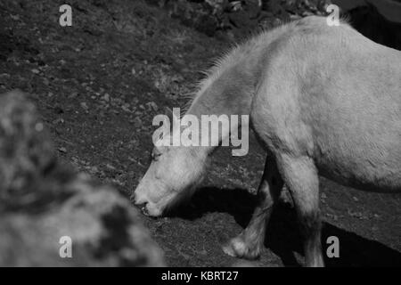 A photo of a grazing horse near the Minions on Bodmin Town in Cornwall. - Stock Photo