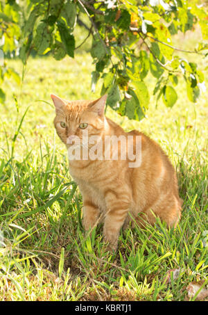 Ginger tabby cat sitting in the shade of a tree - Stock Photo