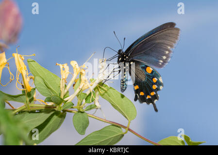 Pipevine Swallowtail butterfly feeding on a Japanese Honeysuckle flower with blue sky background - Stock Photo