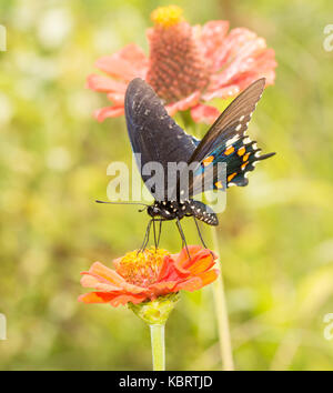 Pipevine Swallowtail butterfly feeding on an orange Zinnia in summer garden - Stock Photo