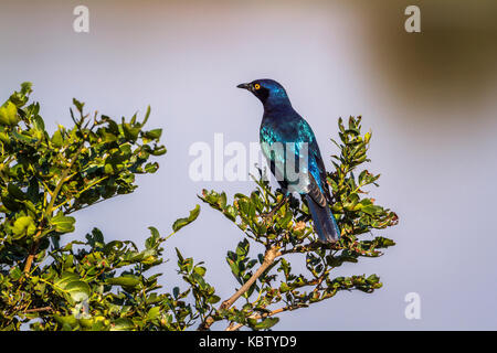 Greater blue-eared glossy-starling in Kruger national park, South Africa ; Specie Lamprotornis chalybaeus family - Stock Photo