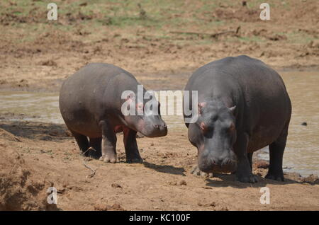 Female  hippopotamus with calf standing outside the water - Pilanesberg National Park - South Africa - Stock Photo
