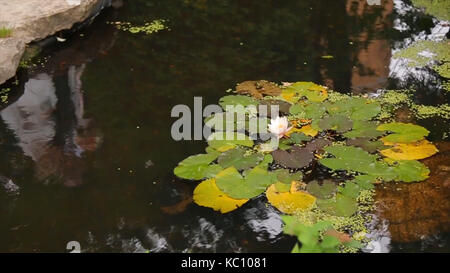 Beautiful flower and leaves in swamp. The swamp Lotus. Flower and leaves in lake. Green swamp where the plant floats. - Stock Photo