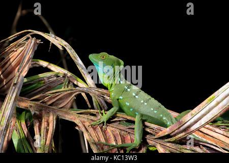 Green Basilisk (Jesus Christ Lizard) basking in the sun, Tortuguero National Park, Costa Rica, 2015 - Stock Photo