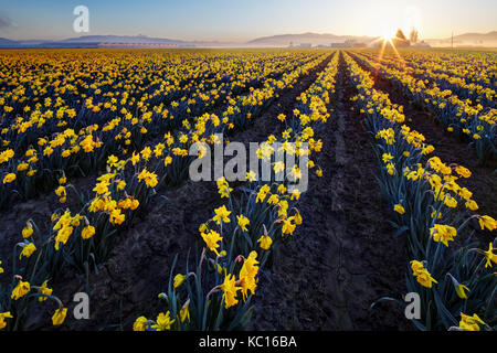 Daffodil field, Skagit Valley, Mount Vernon, Washington State, USA - Stock Photo