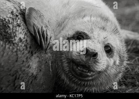 Young newly born grey seal pup at Donna Nook national natural reserve in Lincolnshire, UK - Stock Photo