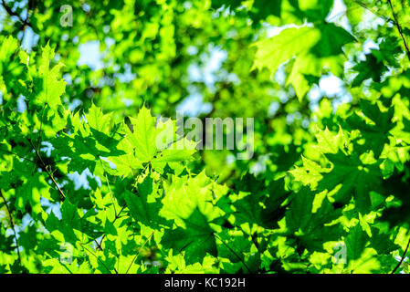 green forest canopy leaves in nature with summer morning golden sunlight shining through the foliage - Stock Photo