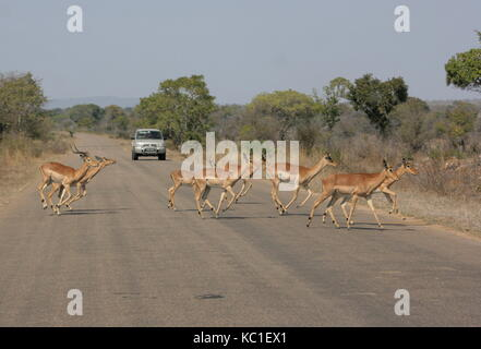 A herd of Impala running across the road in the Kruger National Park, South Africa - Stock Photo
