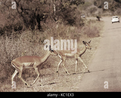 Impala crossing the road in Kruger National Park, South Africa - Stock Photo