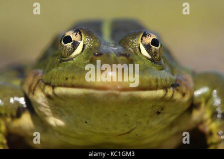Perez,s frog (Pelophylax perezi) front view - Stock Photo