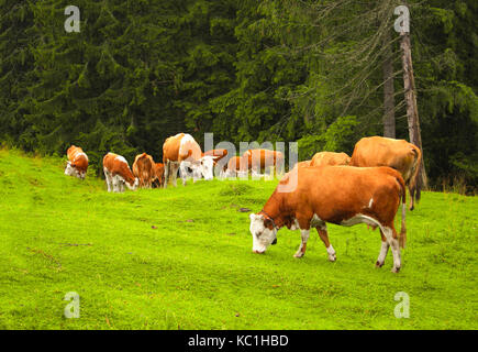 Cows grazing in a mountain meadow in the Carpathians, Romania - Stock Photo