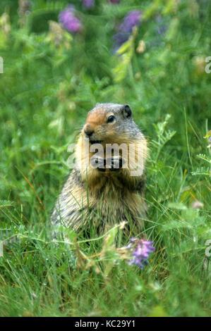 Columbian Ground Squirrel (Spermophilus columbianus), Glacier National Park, British Columbia - Stock Photo