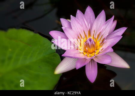 Pink water lily flower ( Nymphaea sp.), New York City  Central Park, New York. - Stock Photo