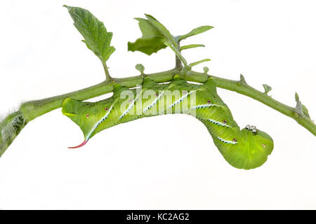Tobacco Hornworm Moth or Carolina Sphinx Moth (Manduca sexta) caterpillar, isolated on white background. - Stock Photo