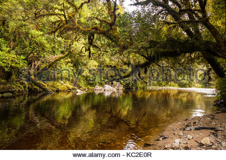 Moss laden trees droop over the Oparara River in native bush. Oparara Basin, South Island, New Zealand. - Stock Photo