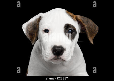 Close-up Portrait of an American Staffordshire Terrier Puppy, looking at camera on Isolated Black background, front - Stock Photo