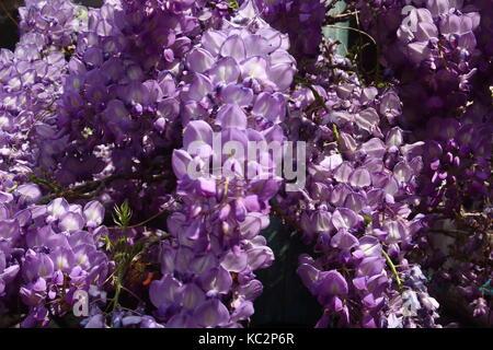 Purple Wisteria in Flower - Stock Photo