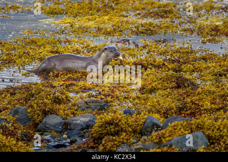 UK wildlife: Otter (lultra lultra) on land carrying fish it has caught out of the sea onto the seaweed shoreline, - Stock Photo