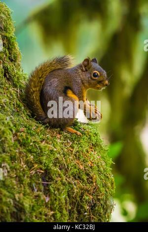 Chickaree, aka Douglas Squirrel, Tamiasciurus douglasii, feeding on seeds from a Sitka Spruce, Picea Sitchensis, - Stock Photo
