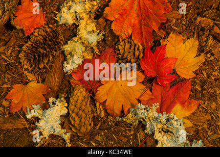 Fallen Vine Maple, Acer circinatum, leaves and Sitka Spruce, Picea sitchensis, cones and lichens in autumn along - Stock Photo