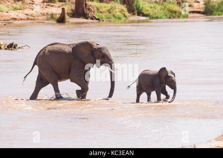 African bush elephant (Loxodonta africana) herd crossing shallow river, Samburu National Reserve, Kenya, East Africa - Stock Photo