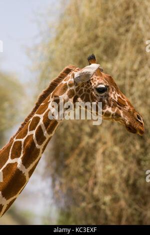 Reticulated giraffe (Giraffa camelopardalis reticulata), Samburu National Game Park Reserve, Kenya, East Africa