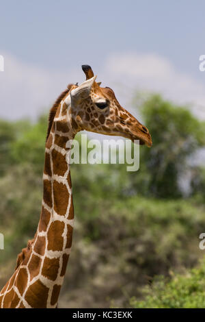 Reticulated giraffe (Giraffa camelopardalis reticulata), Samburu National Game Park Reserve, Kenya, East Africa - Stock Photo