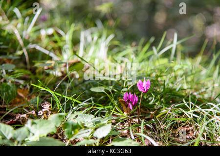 Undergrowth flowers. Cyclamen - Stock Photo