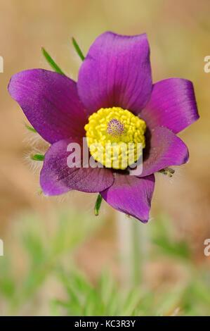 Common Pasque Flower, North Rhine-Westphalia, Germany / (Pulsatilla vulgaris) | Echte Kuechenschelle / (Pulsatilla - Stock Photo