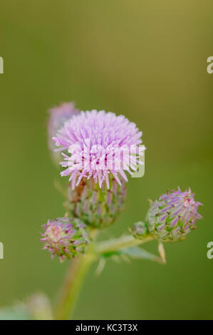 Creeping Thistle, North Rhine-Westphalia, Germany / (Cirsium arvense) | Acker-Kratzdistel, Nordrhein-Westfalen, - Stock Photo