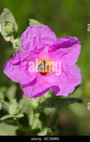 Grey-leaved Cistus and White-spotted Rose Beetle, Provence, Southern France / (Cistus albidus), (Oxythyrea funesta) - Stock Photo