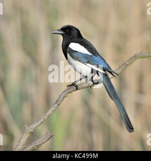 An eurasian magpie or common magpie (Pica pica) perched on a branch in a reed bed in Warwickshire in the UK. - Stock Photo
