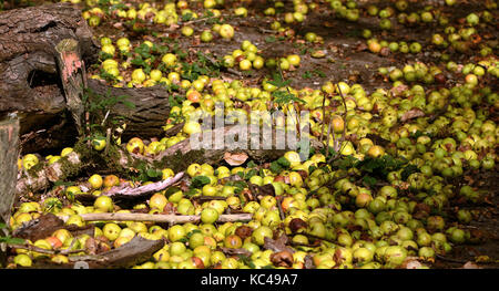Windfall crab apples lying by an old tree trunk and branches on a woodland floor in Warwickshire, England, UK. - Stock Photo