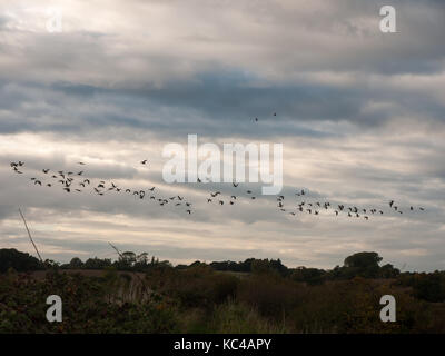 silhouettes of geese flying above country scene in a line swarm flock; Essex; England; UK - Stock Photo