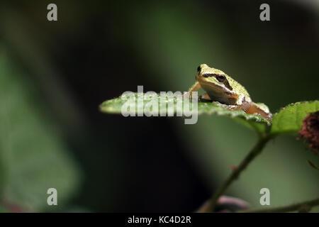 Pacific tree frog - Stock Photo