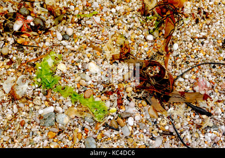 SEAWEED AND PEBBLES ON A BEACH IN DEVON ENGLAND UK - Stock Photo