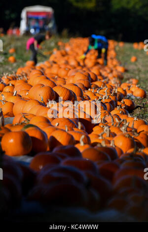 Southampton, UK. 03rd Oct, 2017. Romsey Hampshire, England Tuesday 3rd October 2017. The pumpkin harvest gets underway - Stock Photo